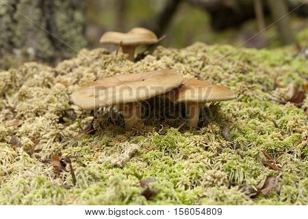 inedible mushrooms (Paxillus involutus) on dry moss