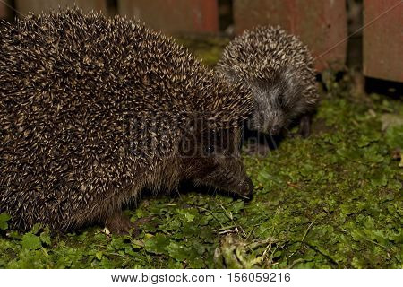 hedgehog female and young sit in garden