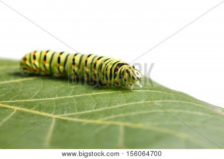 Side low angle view of vermin caterpillar on leaf isolated on white