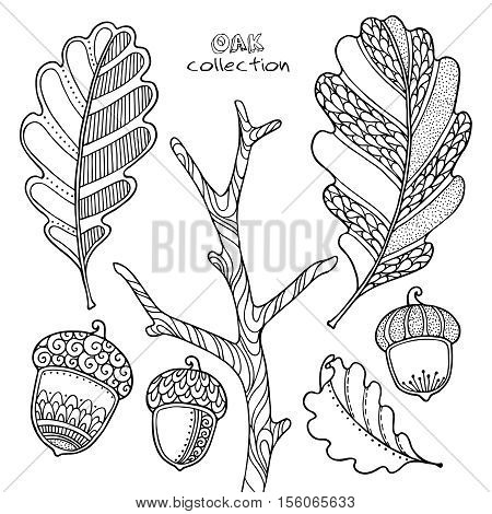 Nature elements vector set in doodle style. Floral, ornate, decorative, tribal, forest design elements. Black and white illustration. Oak branch, leaves and acorns. Zentangle coloring book page