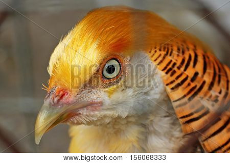 Close-up Yellow Golden Pheasant in the farm