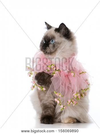 female ragdoll cat on white background