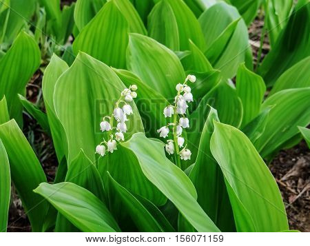 A flower lily of the valley. may-lily