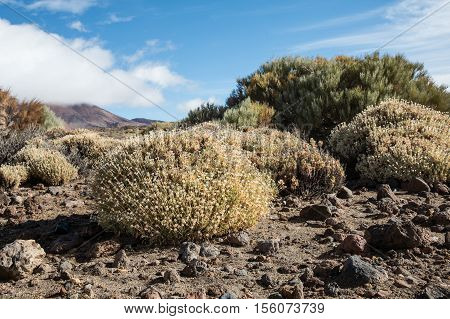 Rosalillo de cumbre in the Teide National Park, october season (Tenerife - Spain) poster
