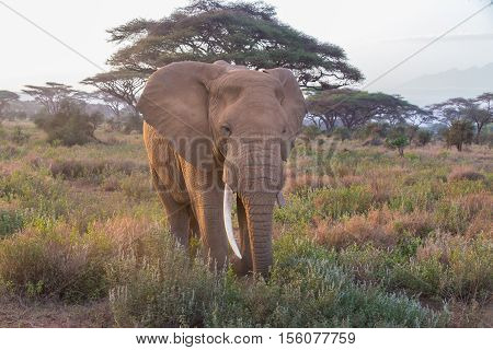 Elephant in Amboseli national park in Kenya, Africa.
