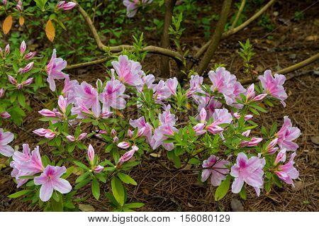 Beautiful pink azalea blooms in a spring garden