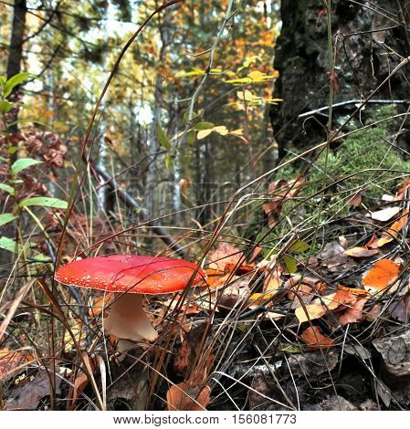 Beautiful Spotted Red Mushroom In A Forest Glade