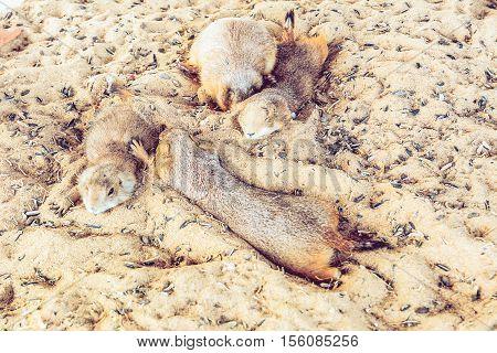 Selective Focus Prairie Dog sleeo on sand