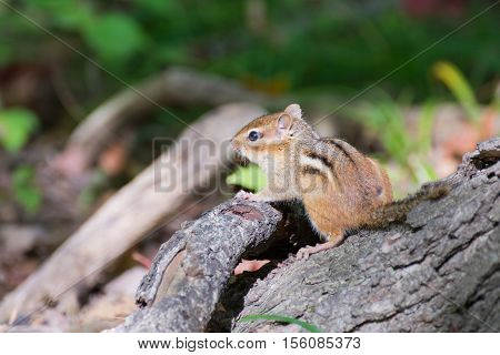 A Chipmunk perched on a tree stump.