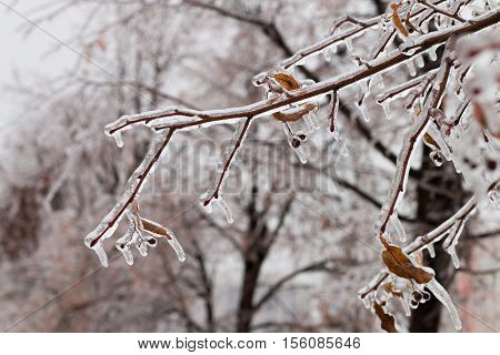 Ice-covered Branches Tree With Multi-colored Leaves After Freezing Rain