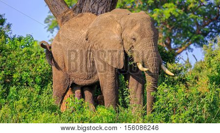 african bush elephant grazing and fifth leg seen prominantly