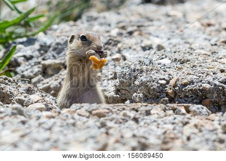 Funny close-up ground squirrel aka European souslik or gopher, eating piece of bread