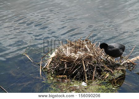 A Coot Bird Returning to the Eggs in the Nest.
