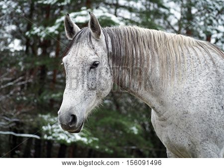 Portrait of a beautiful grey Holstein mare against the background of the winter forest