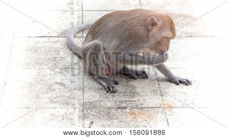 The hungry monkey eating store grain in the temple Thailand