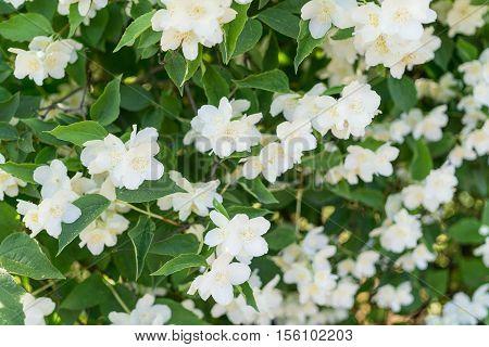bush blooming jasmine. white flowers. nature background