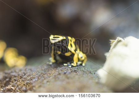 dendrobates leucomelas - colored frog frm South America