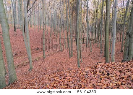 The photo shows beech forest. It is late autumn, the trees are mostly devoid of leaves. A thick layer of brown, dry leaves cover the ground.