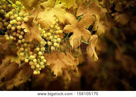 ripe grapes on the vine. autumn colors