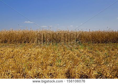 agricultural field with cereals during harvest. summer