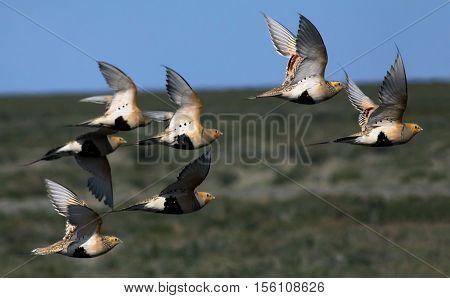 Pallas's sandgrouses (Syrrhaptes paradoxus) in flight vicinity of Lake Balkhash Kazakhstan