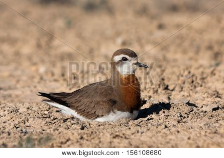 Male of Caspian plover (Charadrius asiaticus) sitting on the nest in desert near Caspian see Kazakhstan
