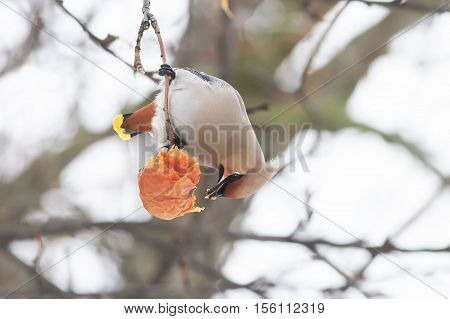 bird the Waxwing sitting on a branch and eats the frozen Apple