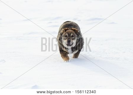 funny brown puppy playing and licking the snow with the nose