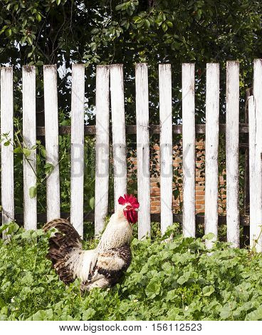 White rooster on background of wooden fence near house. Summer rural yard with domestic white cock in green grass