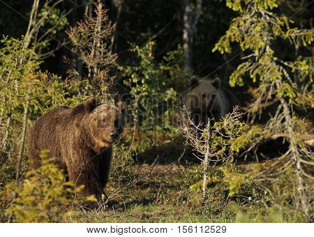 Two Eurasian Brown Bears (Ursus arctos arctos) In Kuusamo in Finland, near the Russian border.
