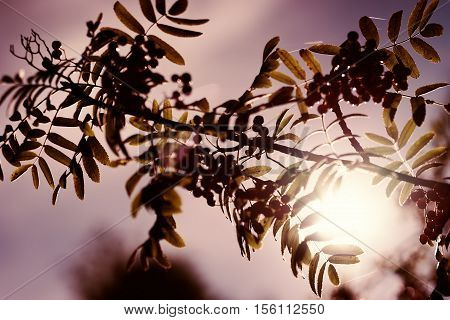 Red ashberry in direct sunlight background hd