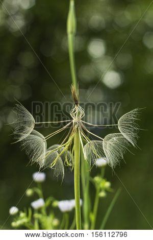 Large white fluffy dandelion flower. Distant relative of dandelion - Salsify. Tragopogon flower. Family  sunflower family. Seeds are borne in fluffy globe. Fragile fluff blowball