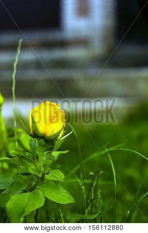 Small yellow rose flower in summer garden