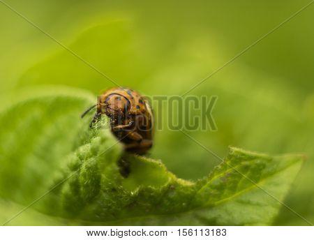 Colorado beetle eating green fresh potato leaf