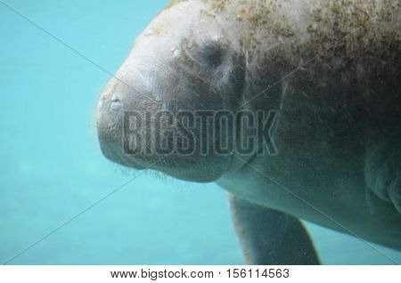 Manatee swimming along underwater in the ocean.