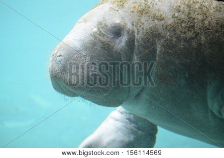Take an up close look at a manatee underwater.