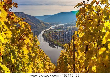 Autumn Colorful Moselle Landscape and Vineyards in Vibrant Evening Sun