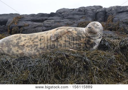 Gray seal on a huge bed of seaweed at low tide.