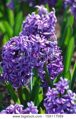 Garden with a blooming purple hyacinth flower blossom.
