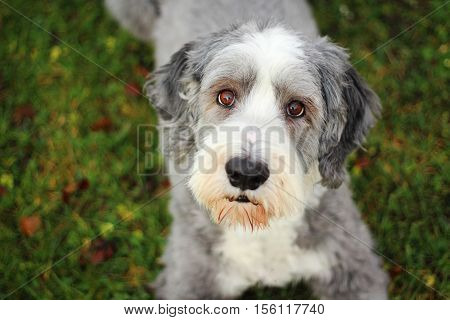 Bearded collie lying in the grass in the summer