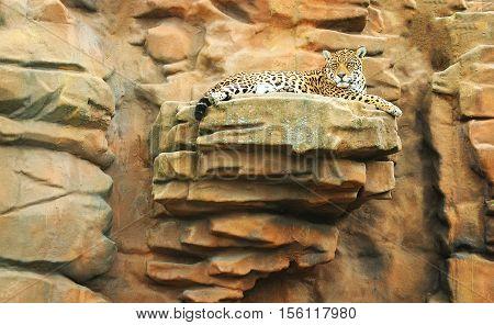A beautiful jaguar lying on a cliff