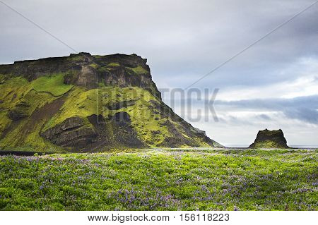 Landscape in Iceland with a mountain and a field of flowers