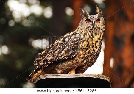 A beautiful eurasian eagle owl sitting on a platform
