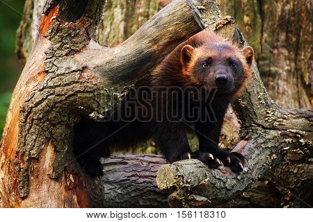 Cute wolverine female standing in a tree