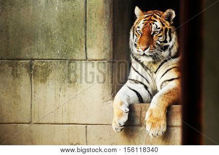 A beautiful captive siberian tiger lying down