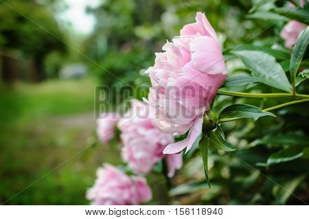 Large brilliant pink peony flowers in countryside garden with a blurred background.