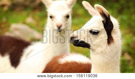 A portrait of a llama with another llama in the background