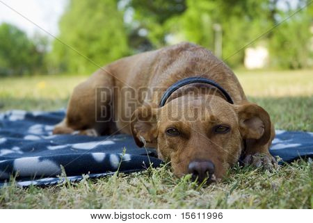 a brown dog outdoor