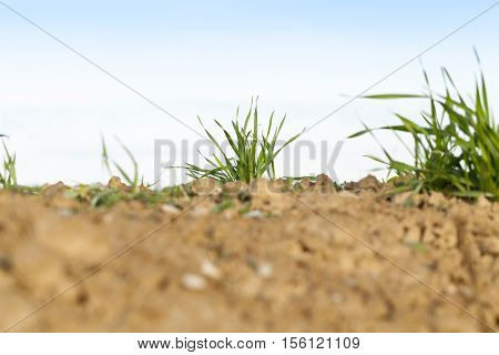 photographed close up young grass plants green wheat growing on agricultural field, agriculture, against the blue sky