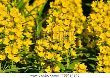 Garden yellow loosestrife. Beautiful yellow flowers closeup